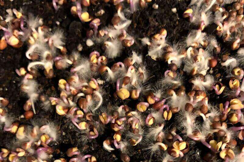 no mold on microgreens only root hairs