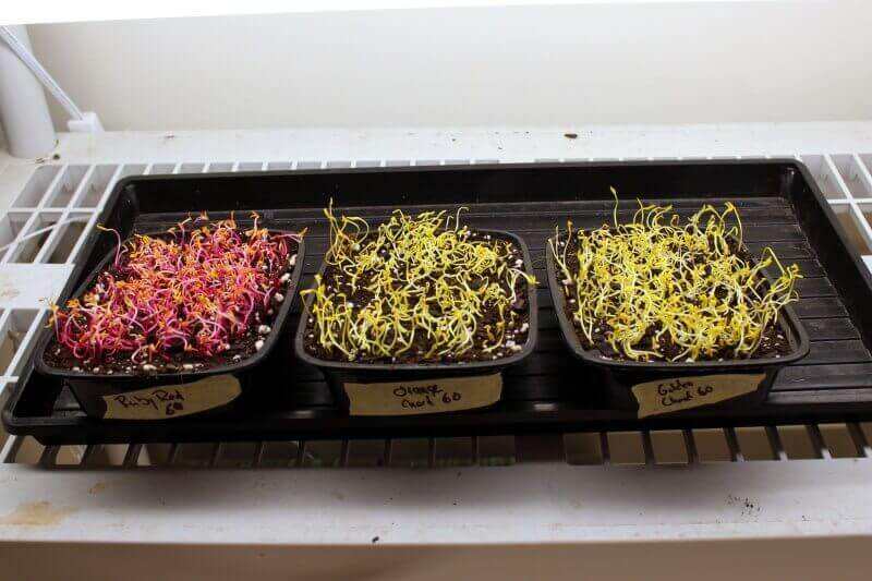 swiss chard microgreens coming out of the blackout