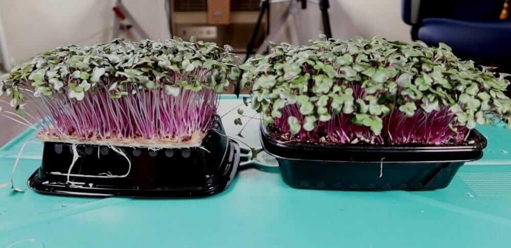 microgreens grown with a liquid organic fertilizer