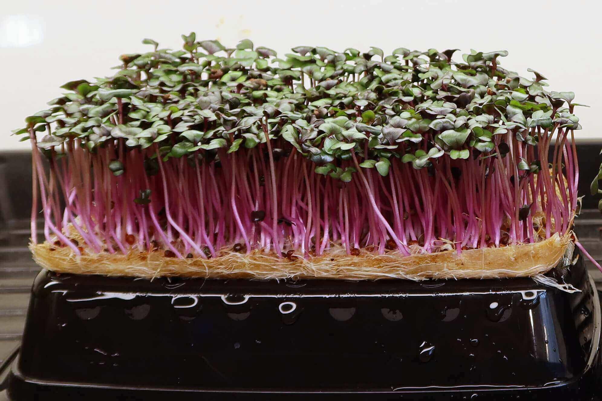 terrafibre-grow-mat-for-microgreens