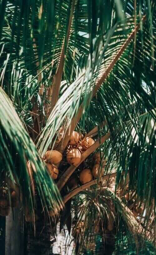 coco coir comes from coconut pith