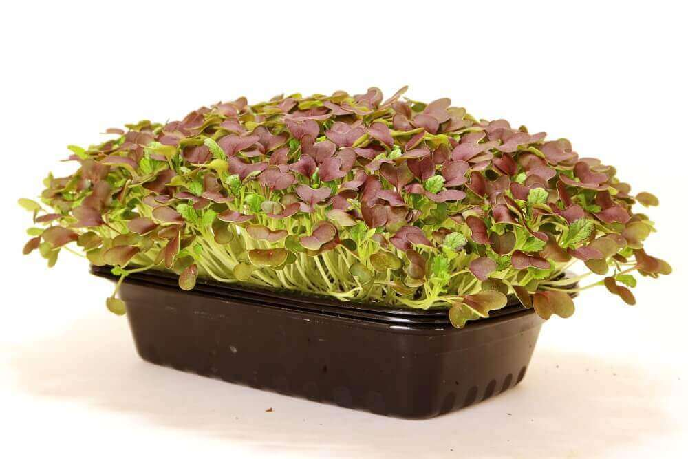 Red Garnet Mustard Microgreens 14-days after planting