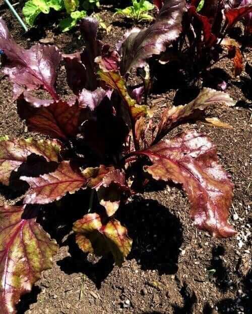 bull's blood beet in the garden