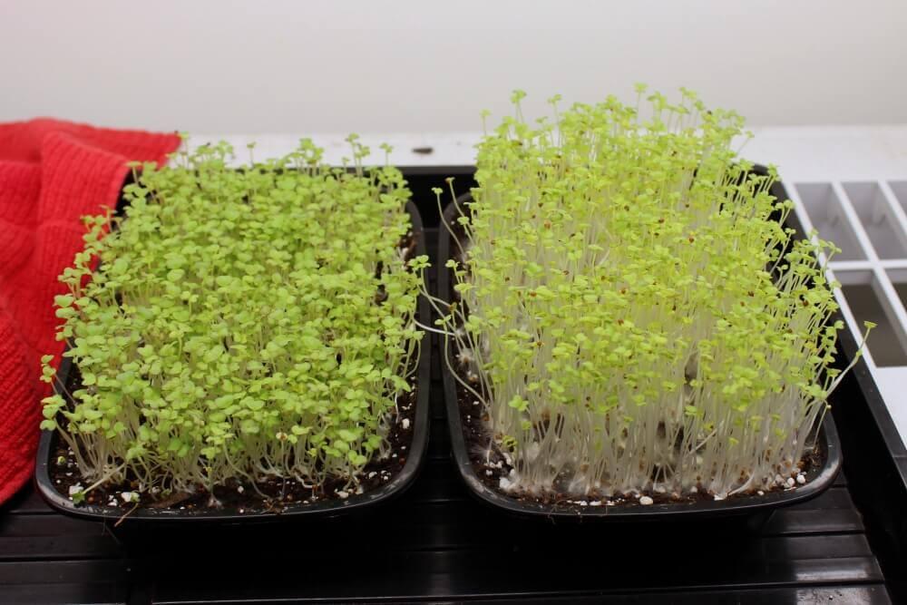 wasabi mustard microgreens