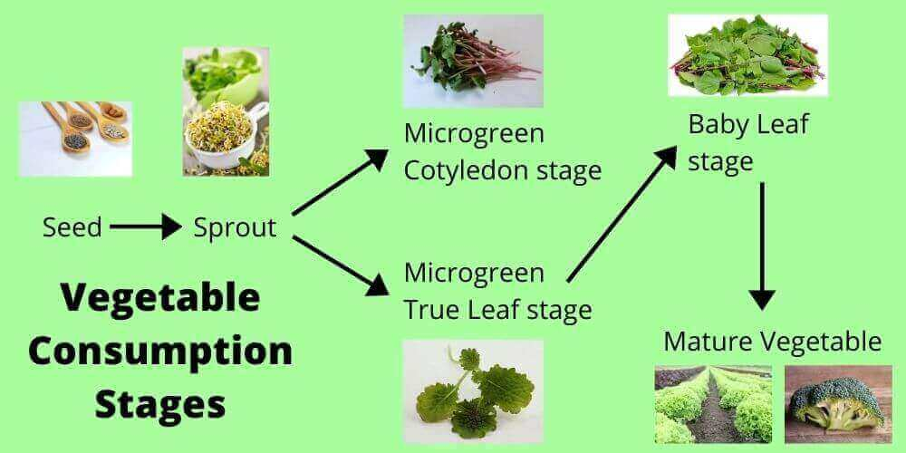 vegetable food stages