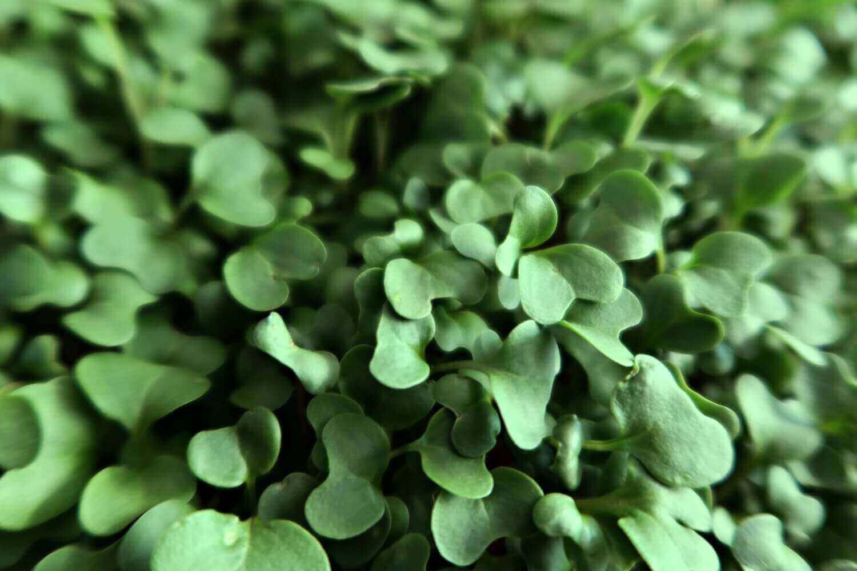 broccoli microgreen nutrition and health benefits