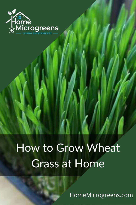 wheatgrass pin