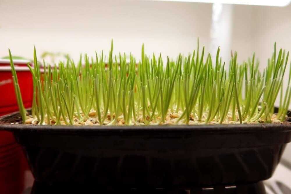 wheat grass one day under lights