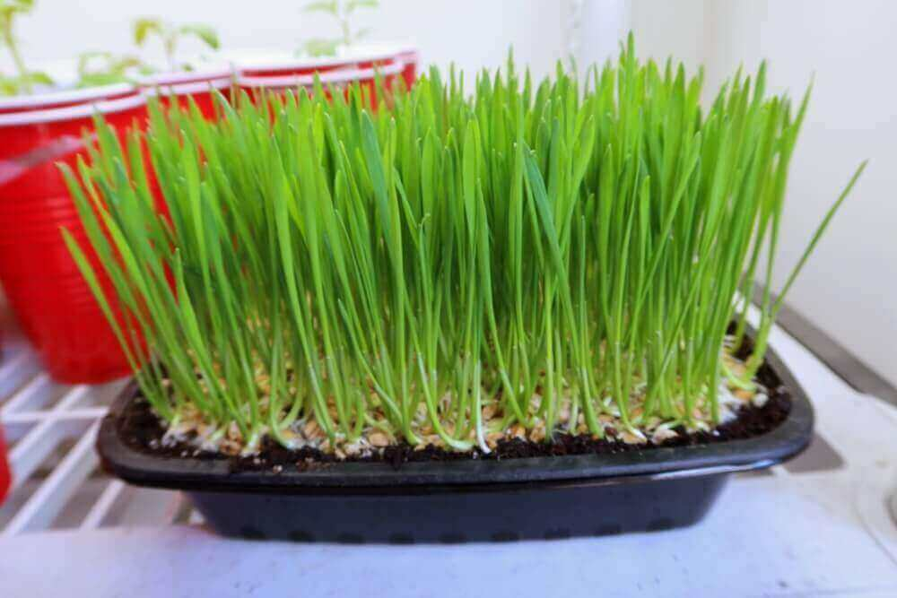 wheat grass almost ready for juicing