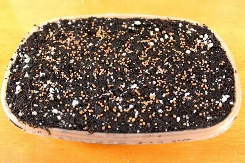 evenly spaced arugula microgreen seeds