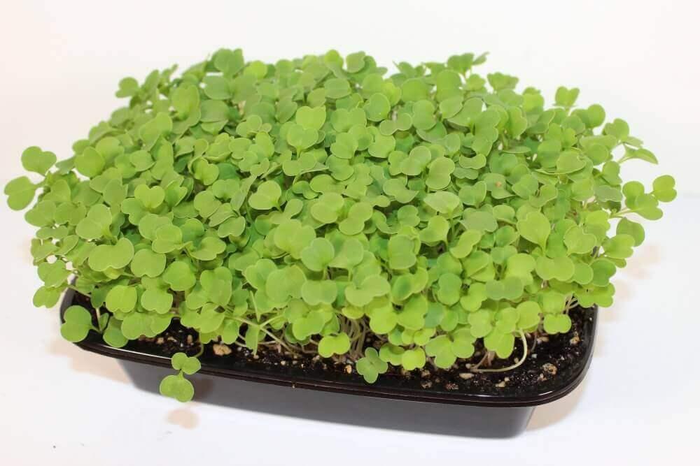 how to grow arugula indoors home microgreens